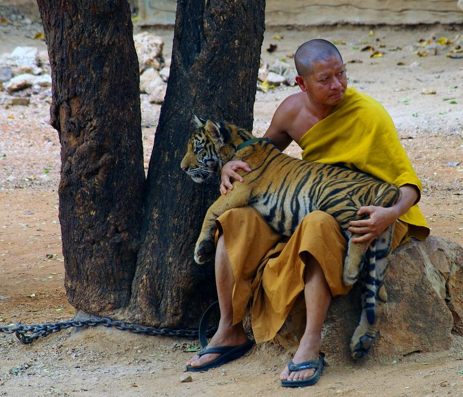 A monk and a cub in in Tiger Temple, Kanchanaburi