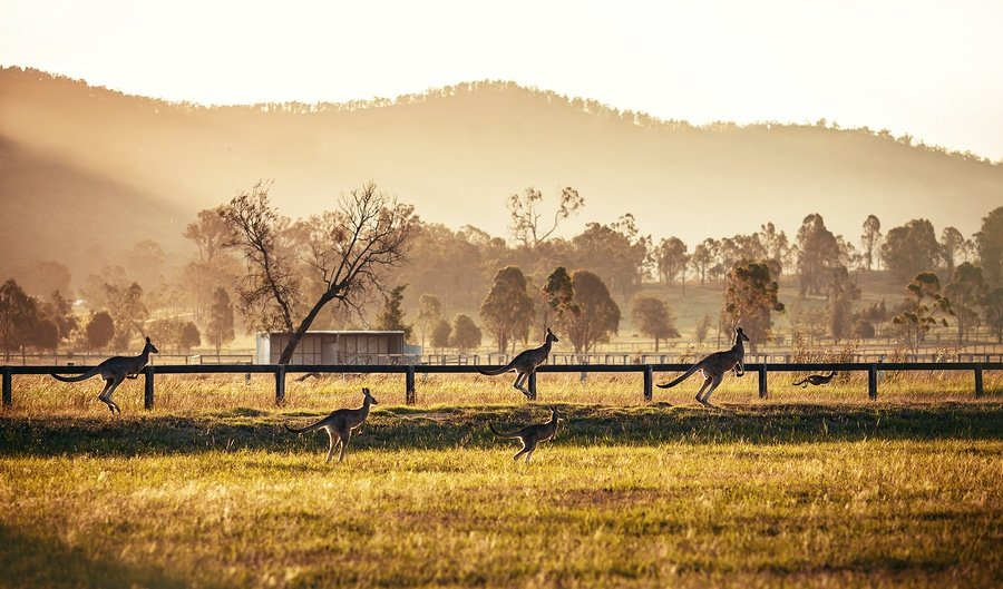 Australian kangaroos, Hunter Valley, Australia