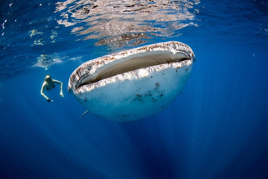 Swimming side by side with a huge whale shark in the clear blue ocean, Cebu, Philippines