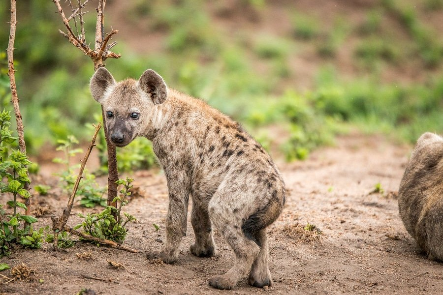 Baby Spotted Hyena Starring At The Camera, Kruger National Park