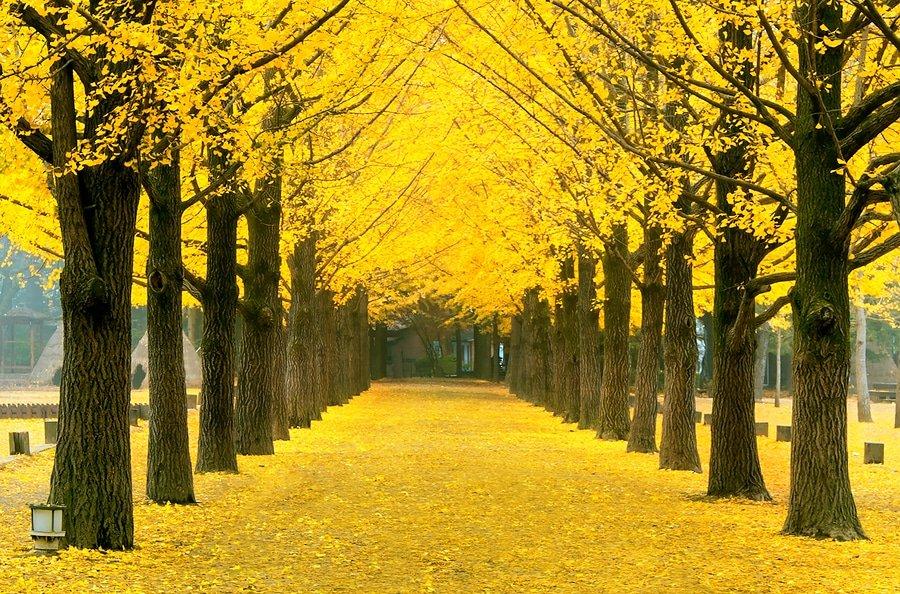 Row of yellow ginkgo trees, Nami Island , South Korea
