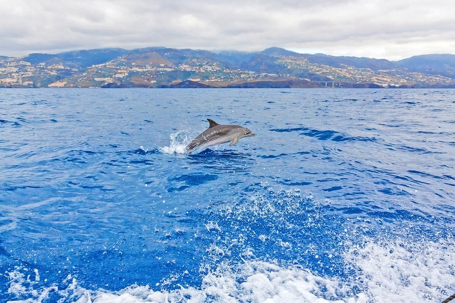 Dolphin watch, Madeira, Portugal