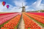 the Netherands windmill and tulips