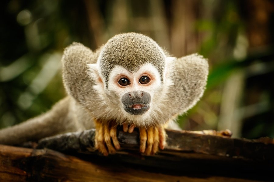 The Amazon Rainforest is home is home to about 2.5 million insect species, tens of thousands of plants, and some 2,000 birds and mammals. Sitting Squirrel monkey in Ecuadorian jungle, Ecuador